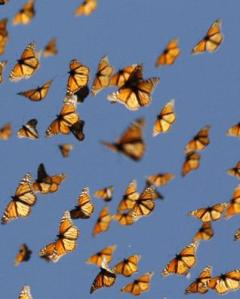 MIGRATING_MONARCHS_8434e