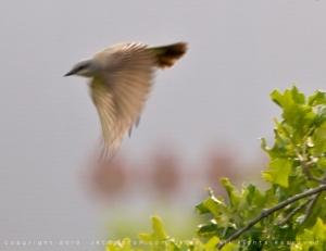 Little-Bird-Flying-JR7_8215